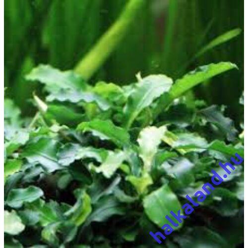Bucephalandra Wavy Green akváriumi növény