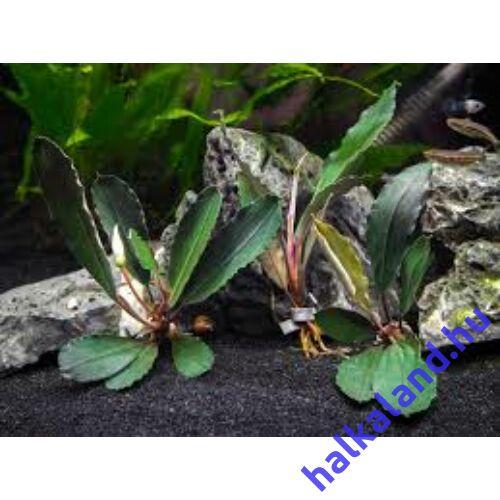 Bucephalandra achiles black dark akváriumi növény