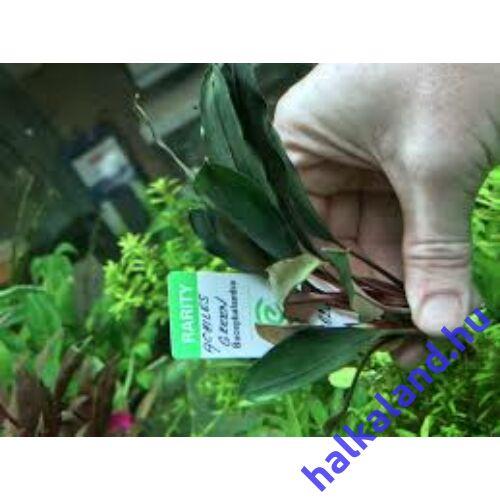 Bucephalandra achiles green akváriumi növény