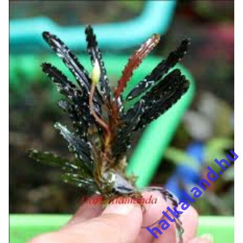 Bucephalandra alamanda v3 dark akváriumi növény
