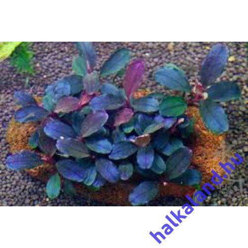 Bucephalandra deep blue akváriumi növény