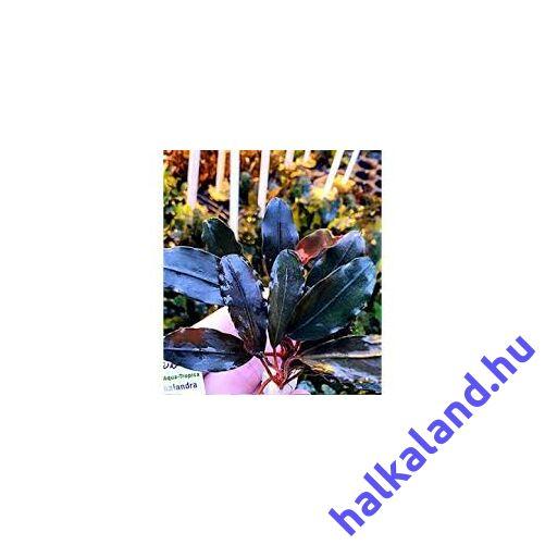 Bucephalandra lo black akváriumi növény