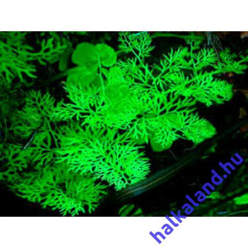 Ceratopteris thalictroides akváriumi növény