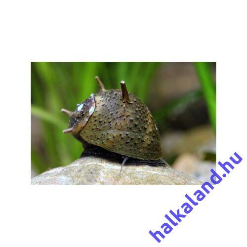 Clithon sp. Thorn - Napsugár csiga