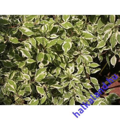 Cornus alba 'Argenteomarginata' - Tarka levelű som