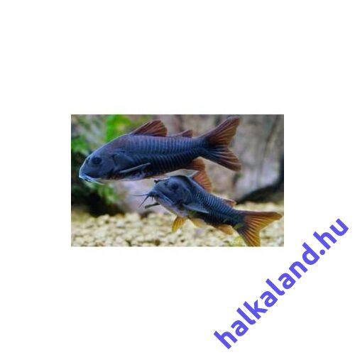 Corydoras Black Venezuela