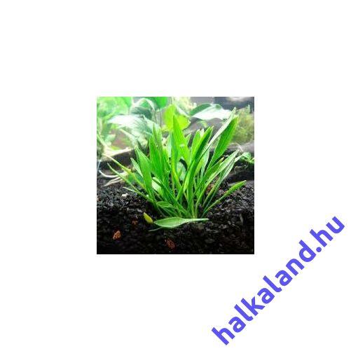 Cryptocoryne parva akváriumi növény