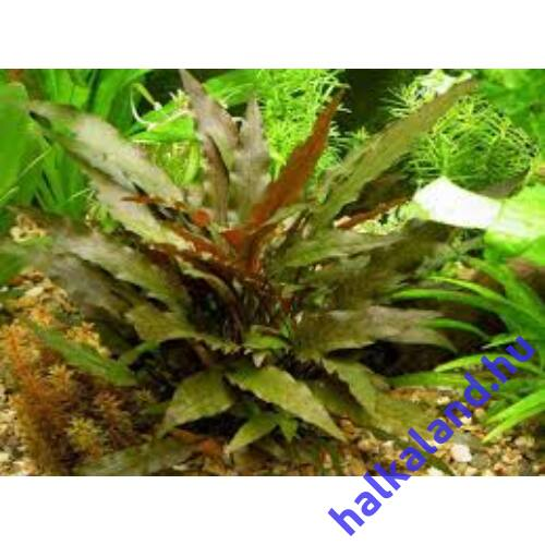 Cryptocoryne wendtii brown akváriumi növény