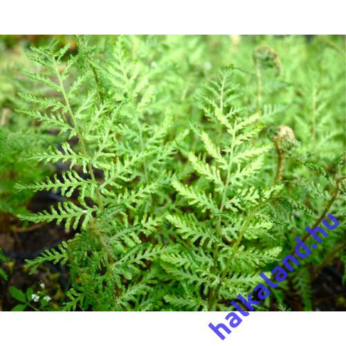 Dryopteris filix-mas 'Linearis Polydactyla' – Erdei pajzsika