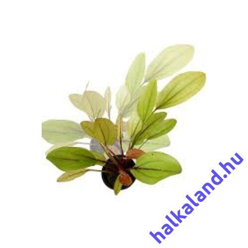 Echinodorus ipica akváriumi növény