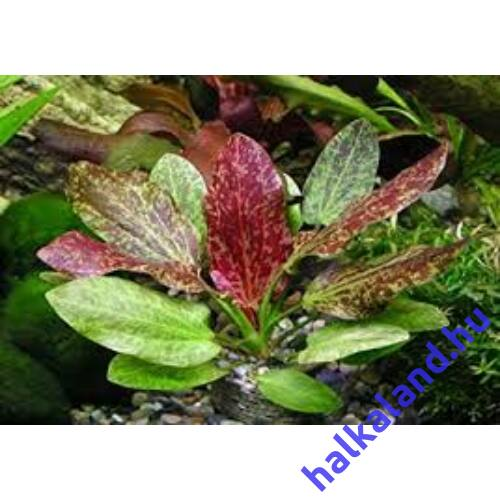 Echinodorus red flame akváriumi növény