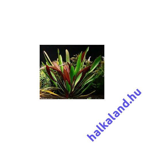 Echinodorus rubin akváriumi növény