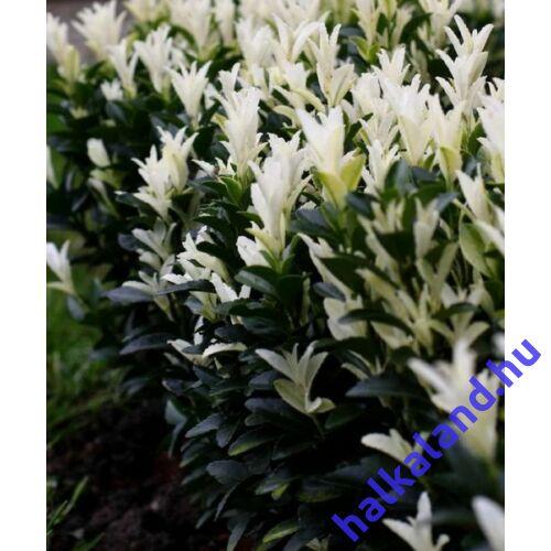 Euonymus japonicus Paloma Blanca- Kecskerágó