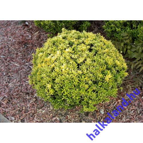 Euonymus microphyllus 'Aureovariegatus' -Kislevelű, japán kecskerágó