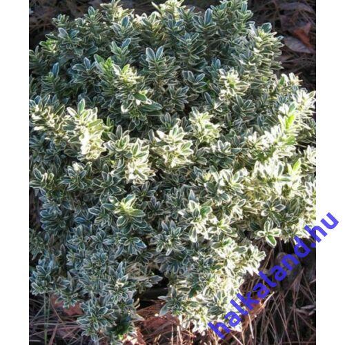 Euonymus microphyllus Albovariegatus - Aprólevelű japán kecskerágó