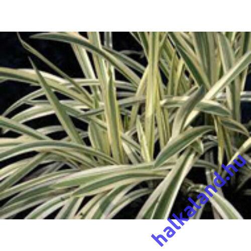 Glyceria maxima variegata - kerti tavi növény