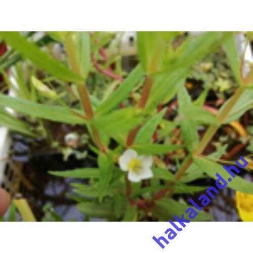 Gratiola officinalis Csikorgófű kerti tavi növény
