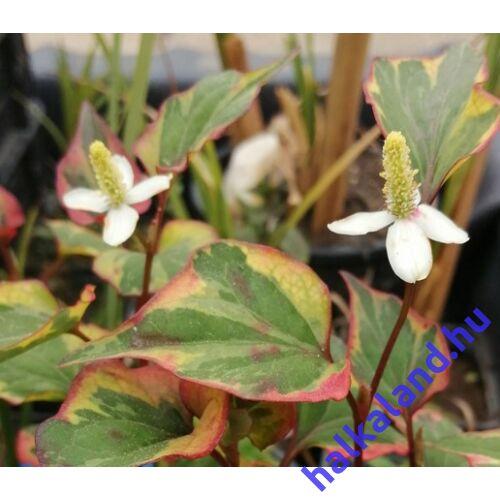 Houttuynia cordata Chamaeleon - kaméleon virág kerti tavi növény