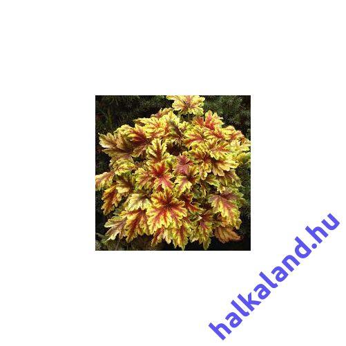 Heucherella 'Alabama Sunrise' – Turbáncső