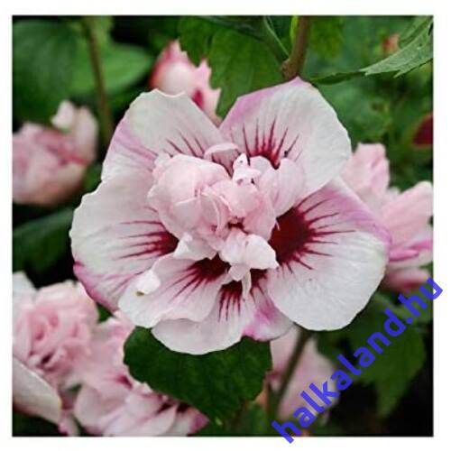 Hibiscus syriacus 'Lady Stanley' mályvacserje