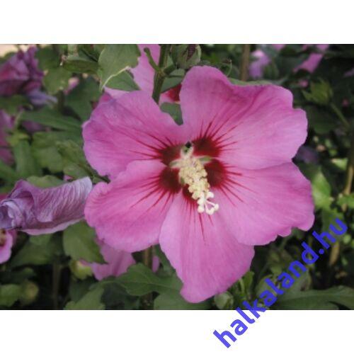 Hibiscus syriacus 'Russian Violet'