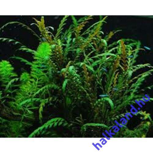 Hygrophila pinnatifida akváriumi növény