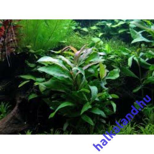 Hygrophila siamensis akváriumi növény