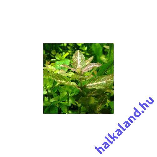 Indiai vízicsillag - Hygrophila polysperma akváriumi növény