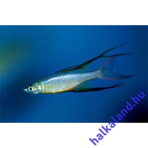 Werneri Kalászhal - Ostoros szívárványhal - Iriatherina werneri