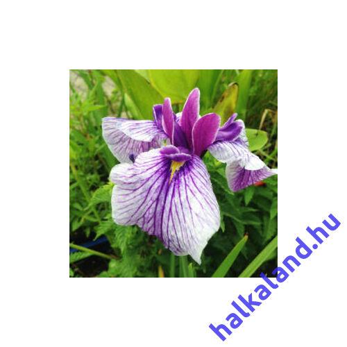 Iris kaempfery - mocsári írisz kerti tavi növény