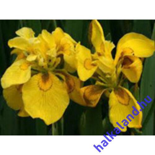 Iris pseudocorus flore pleno - mocsári nőszirom kerti tavi növény