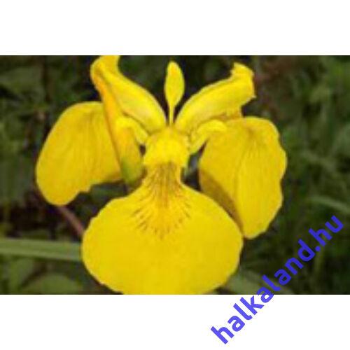 Iris pseudocorus - mocsári nőszirom kerti tavi növény