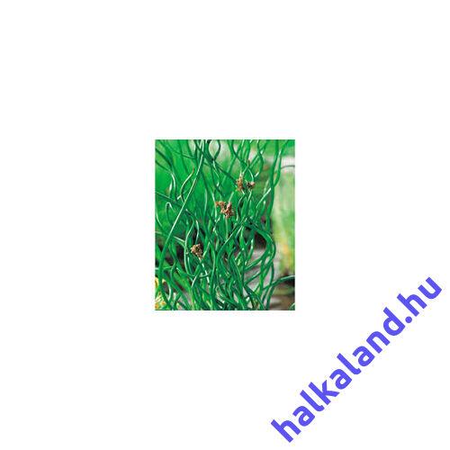 Juncus Effesus Spiralis - Spirálszittyó kerti tavi növény