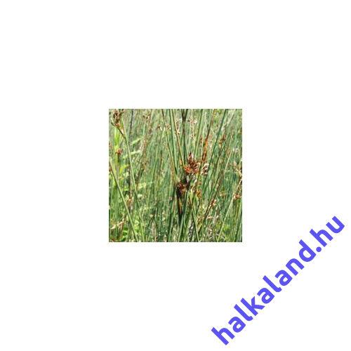Juncus Inflexus deres szittyó - kerti tavi növény