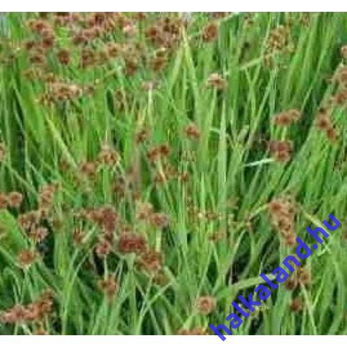 Juncus ensifolius - Kardlevelű vagy törpe szittyó - kerti tavi növény