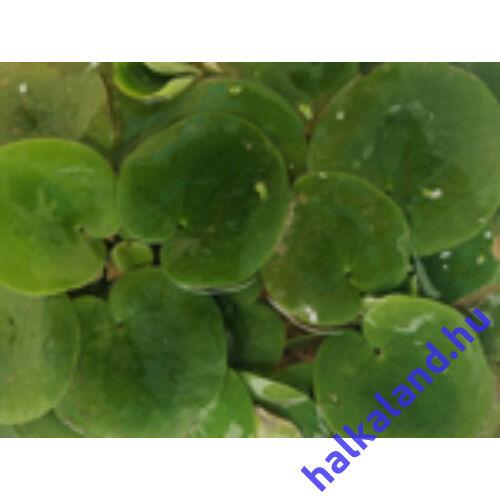 Limnobium - kerti tavi úszónövény