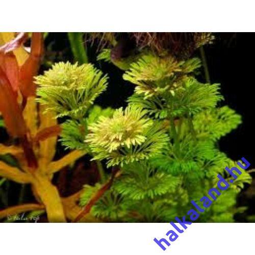 Limnophila sessiliflora ambulia akváriumi növény