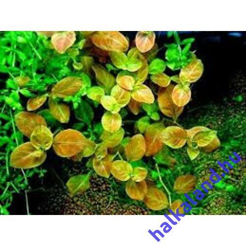 Ludwigia mullertii akváriumi növény