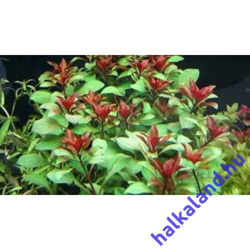 Ludwigia peruensis akváriumi növény