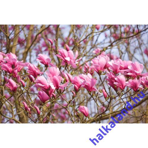Magnolia 'Galaxy' Nagyvirágú liliomfa