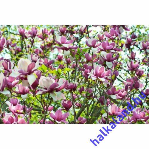 Magnolia 'Lennei' Nagyvirágú liliomfa