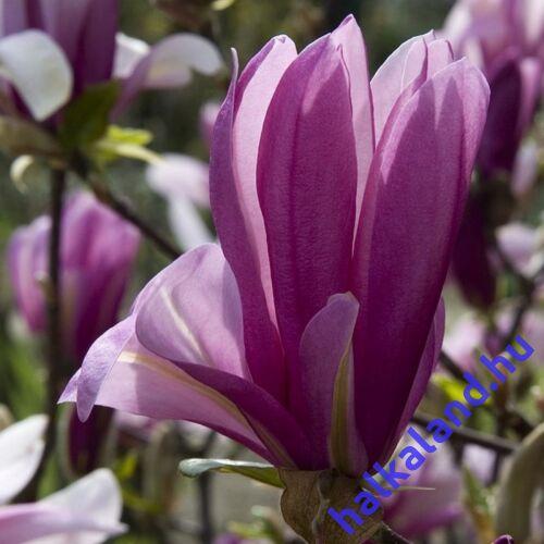 Magnolia 'Rickii' Nagyvirágú liliomfa