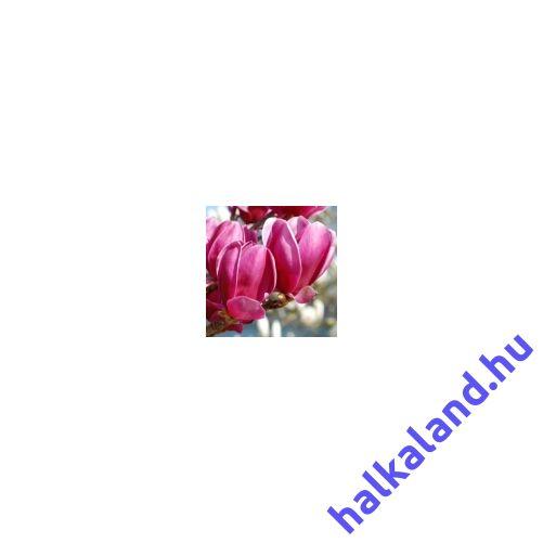 Magnolia 'Shiraz'  Liliomfa