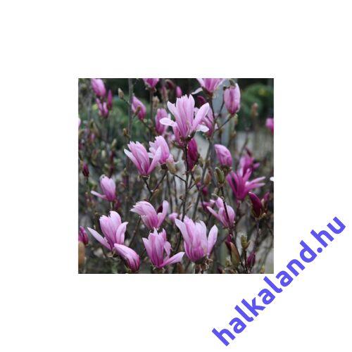 Magnolia 'Susan' Nagyvirágú liliomfa