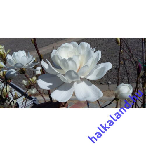 Magnolia 'Wildcat' Teltvirágú Liliomfa