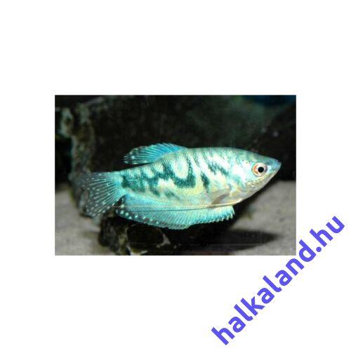 Márvány Gurámi - Trichogaster trichopterus