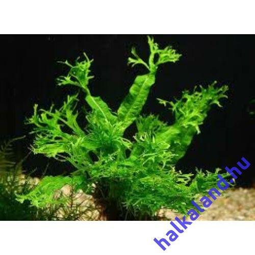 Microsorum Pteropus Windelow akváriumi növény