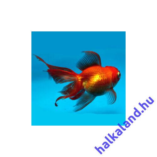 Osztott farkú aranyhal