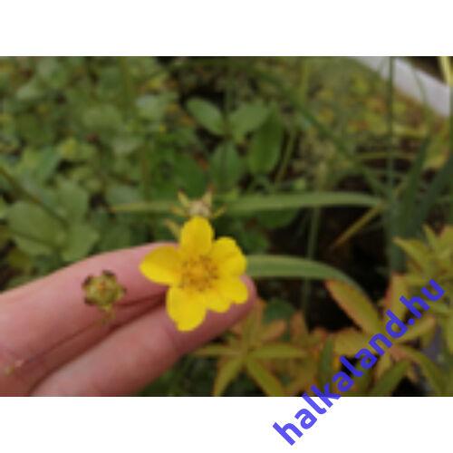 POTENTILLA ARENARIA Pimpó kerti tavi növény