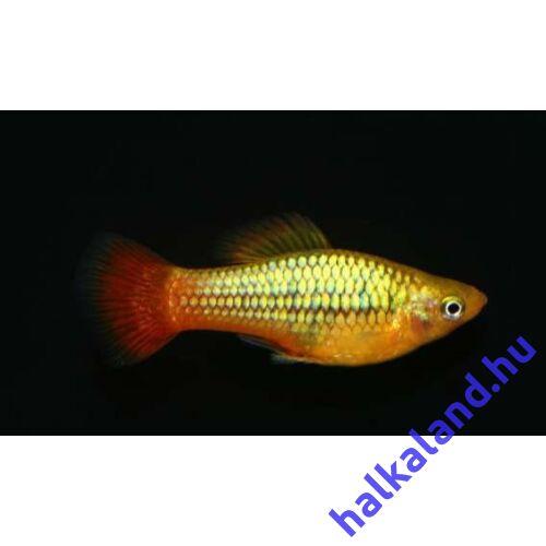 Papagájplatti - Xiphophorus variatus
